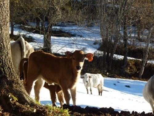 Petits-veaux-de-notre-ferme-en-altitude