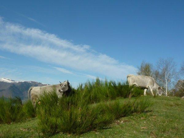 Les vaches n'hésitent pas à grimper tout en haut des parcours !