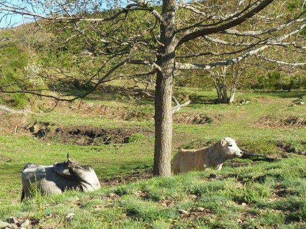 Les vaches se sont lassées du foin et trainent la patte pour aller aux cornadis !