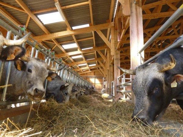 En hiver, en montagne, nous n'avons plus d'herbe dans les prés : les vaches et les ânes sont nourris au foin,