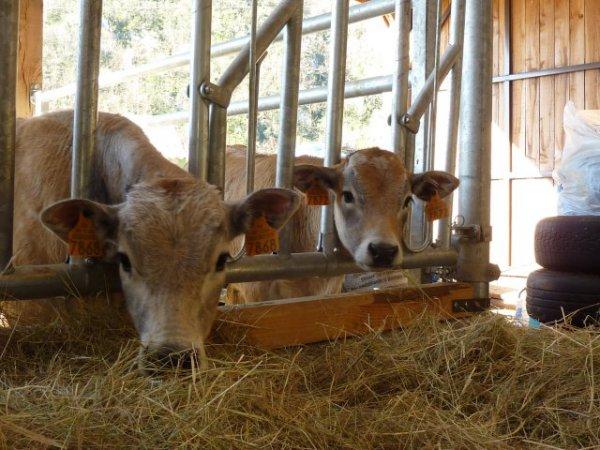 Comme les grands ! Les veaux commencent vite à grignoter de l'herbe ou du foin.