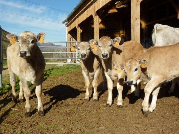 Les veaux gascons naissent beige puis deviennt gris comme les adultes vers 5 mois.
