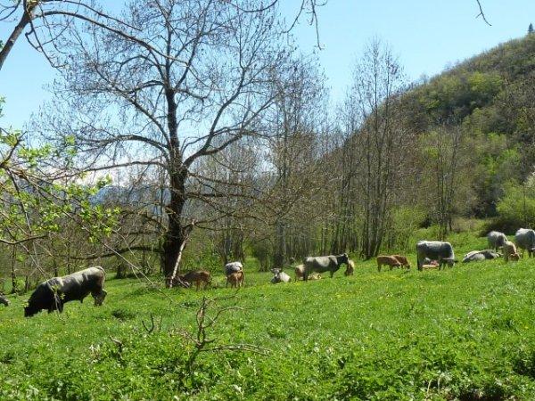 De mai à novembre, les vaches se nourissent d'herbe dans les prés et les parcours.