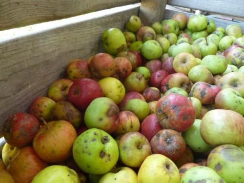 Une grande variété de pommes est utilisée pour la fabrication de notre jus de pomme artisanal et fermier