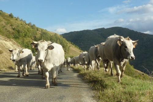 Notre gite à la ferme, l'occasion de suivre la transhumance de nos vaches dans les montagnes de Haute Ariège