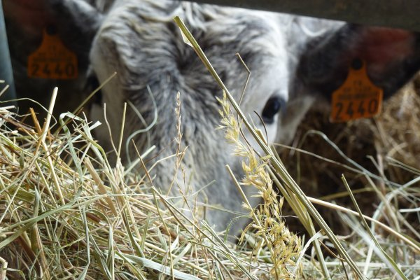 Un gîte à la ferme pour découvrir nos jeunes vaches, été comme hiver, en Haute Ariège
