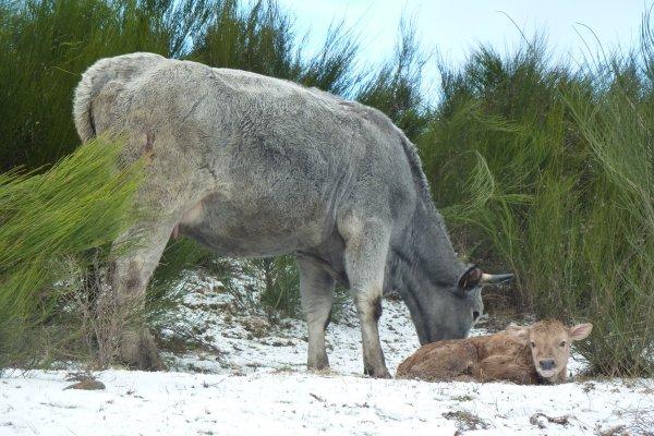 Un gîte à la ferme pour découvrir nos vaches, été comme hiver, en Haute Ariège