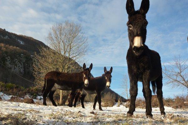 Portaits d'hiver des ânes des Pyrénées de la ferme