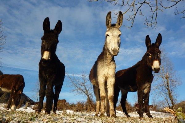 Un gîte à la ferme pour découvrir nos ânes des Pyrénées, été comme hiver, en Haute Ariège