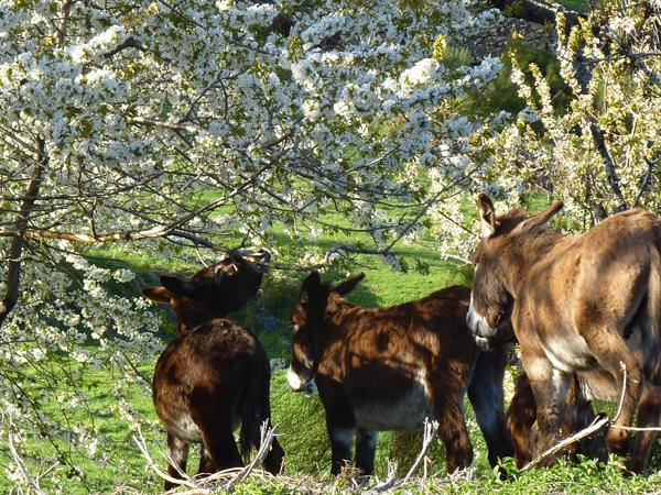 Les ânes de la ferme au printemps, dans les prés autour du gîte et du village.