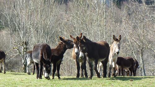 Les ânes de la ferme passent l'hiver autour du village et du gîte