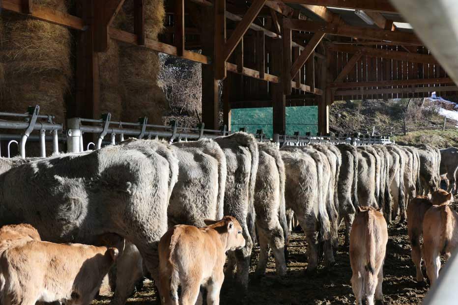 Gîte à la ferme, pour découvrir notre élevage de vaches gasconnes