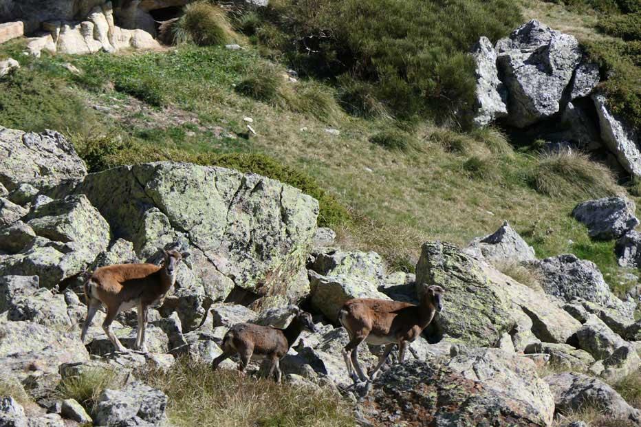 Mouflons à l'étang d'Appy, à 2 heures environ du gîte